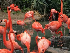 Flamingos Bermuda Aquarium & Zoo